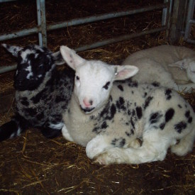 Årets Fjeld lam